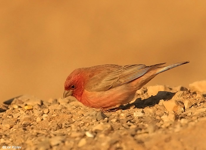 Sinai Rosefinch  Carpodacus synoicus .  Eilat mountains , March 2009 , Lior Kislev