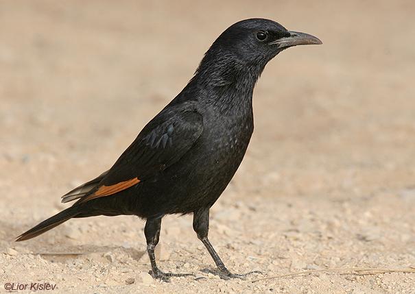 طائر الزرزور الأسود ،   طائر ام سواد طائر المي طائر الكعيت طائر اليحموم طائر الصفّيّا Tristrams%20Starling1