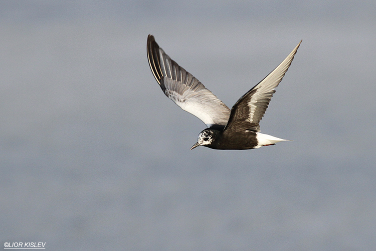 White-winged Tern Chlidonias leucopterus  ,Maagan  Michael, July 2013,Lior Kislev