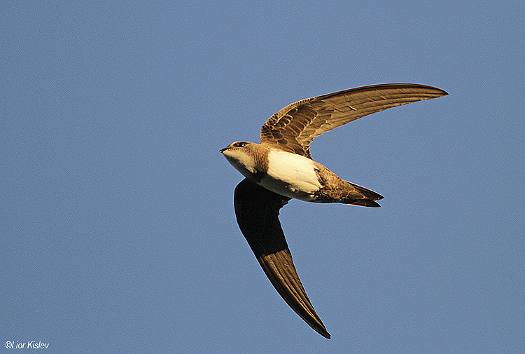 Alpine Swift, the Btecha,September 2014,Lior Kislev