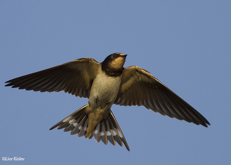 Barn Swallow Hirundo rustica,  the Btecha ,September 2014. Lior Kislev