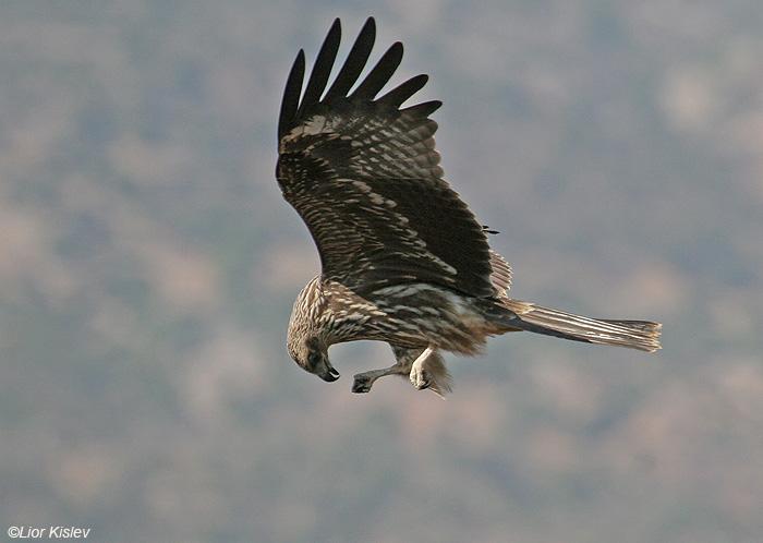דיה שחורה Black Kite Milvus migrans                                                   עמק החולה ,נובמבר  2008,צלם:ליאור כסלו
