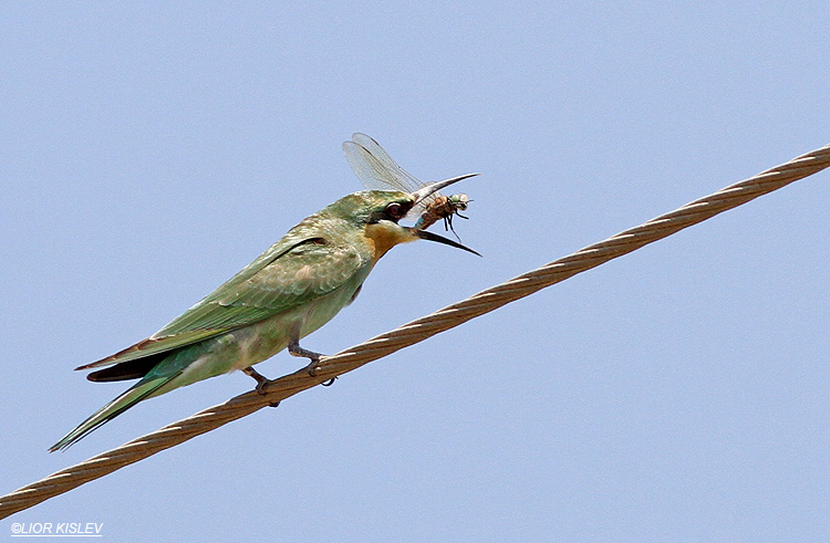 Blue-cheeked Bee-eater  Merops persicus  Beit Shean valley ,06-09-13