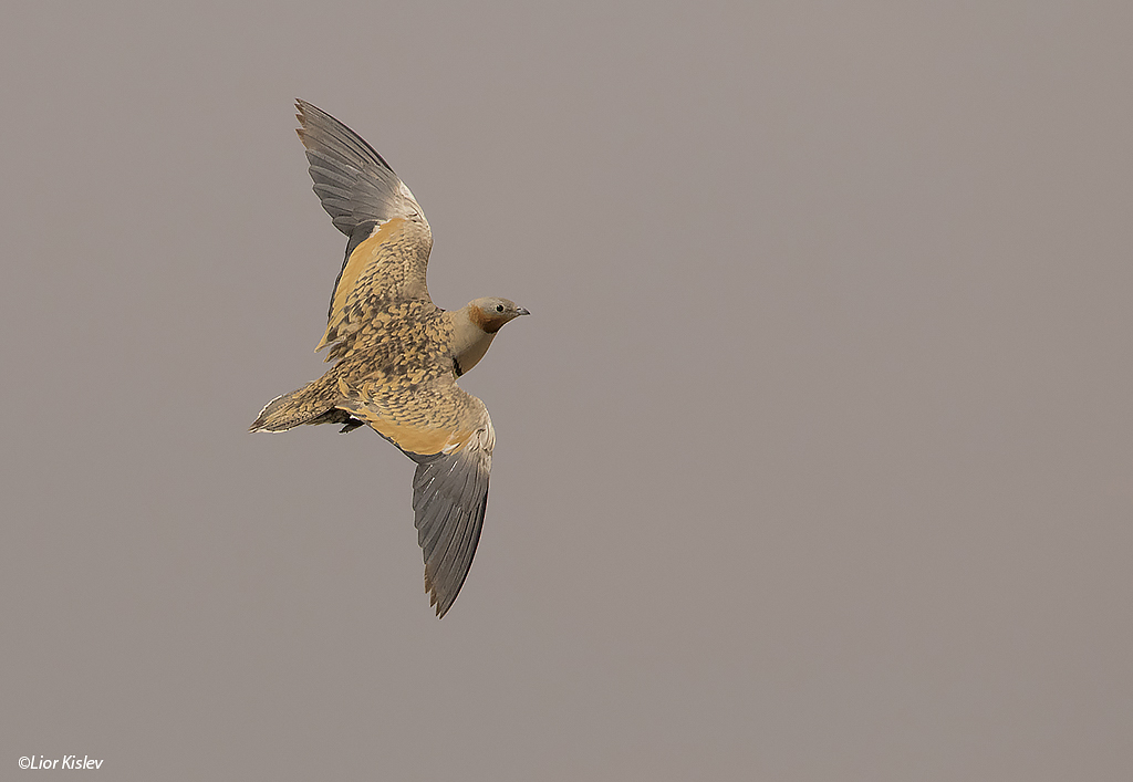 Black-bellied Sandgrouse Pterocles orientalis ,Nitzana June 2015,Lior Kislev