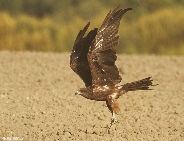 Black Kite Milvus migrans  Beit Shean valley 16-11-10, Lior Kislev.