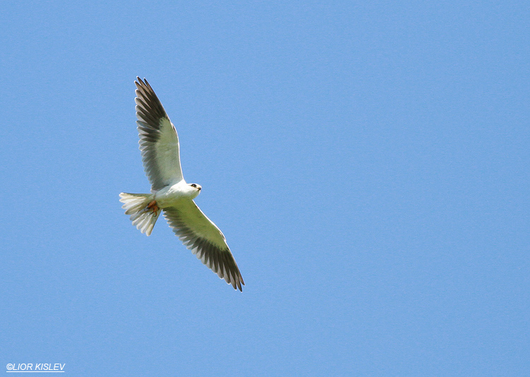 Black-winged Kite  Elanus caeruleus  Hula valley,02-03-13 Lior kislev