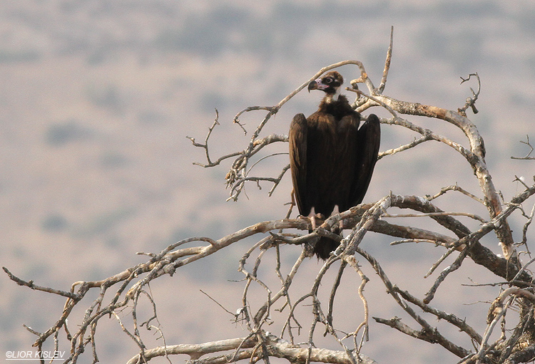 Black Vulture Aegypius monachus , Wadi Meitzar, Golan heights ,September 2013