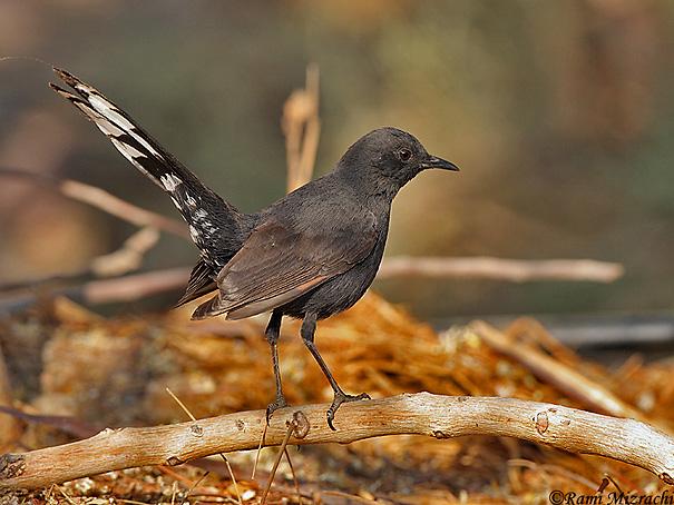 חמריה שחורה Black-bush Robin  Cercotrichas podobe                    אילת,אפריל 2008.צלם:רמי מזרחי