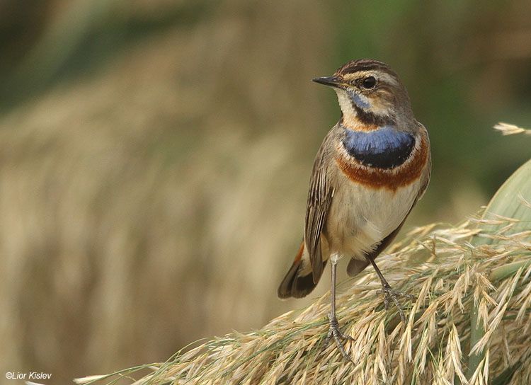 Bluethroat  Luscinia svecica Beit Shean valley 23-11-10 Lior Kislev