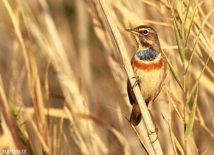 Bluethroat  Luscinia svecica ,the Btecha(Jordan river delta) 13-01-13 Lior Kislev