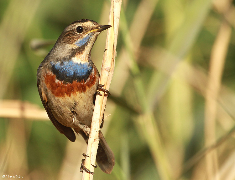 Bluethroat  Luscinia svecica Beit Shean valley 05-12-10 Lior Kislev
