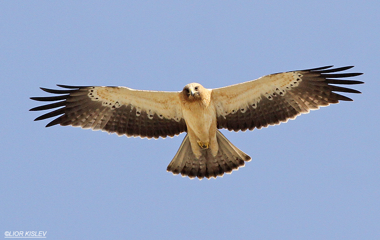 Booted Eagle Hieraaetus pennatus,  Beit Shean valley , Israel 23-10-13. Lior Kislev