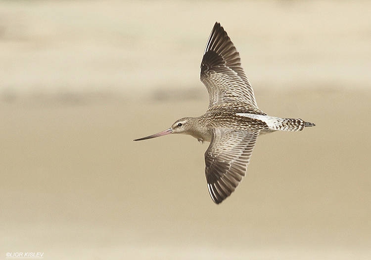 Bar-tailed Godwit   Limosa lapponica  ,Maagan Michael,September 2012, Lior Kislev