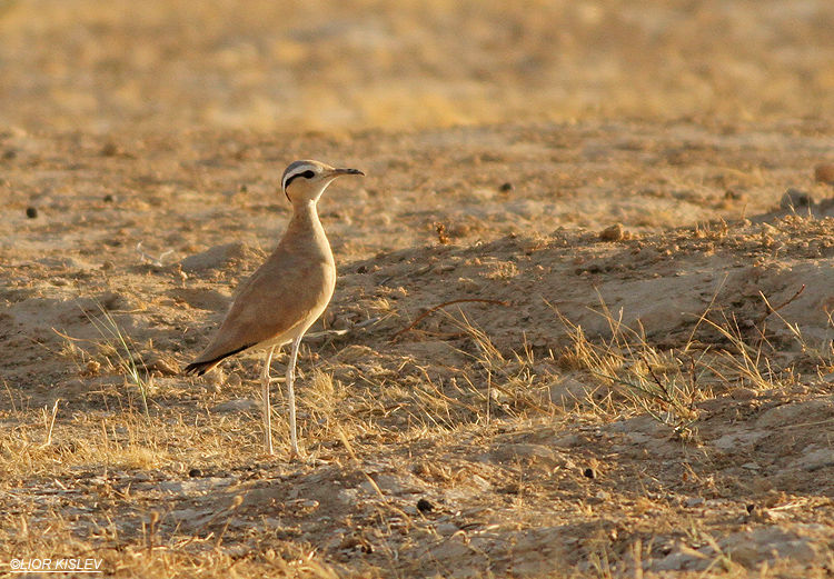 Cream-coloured Courser Cursorius cursor   ,Nitzana ,June 2013. Lior Kislev