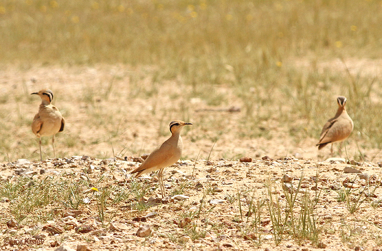 Cream-coloured Courser Cursorius cursor   ,Nitzana ,April   2014. Lior Kislev