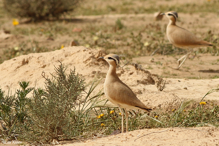 Cream-coloured Courser Cursorius cursor   ,Nitzana ,March  2014. Lior Kislev