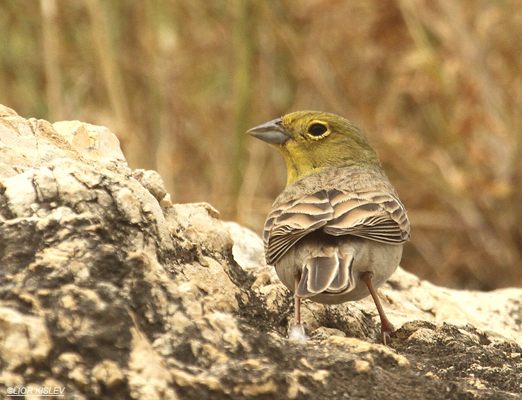 Cinereous Bunting Emberiza cineracea ,Susita,Golan Heights ,March 2012.Lior Kislev