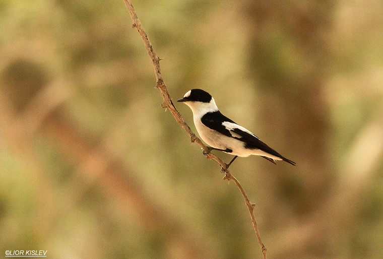 Collared Flycatcher  Ficedula albicollis ,Mitzpe Ramon, April 2013,Lior Kislev