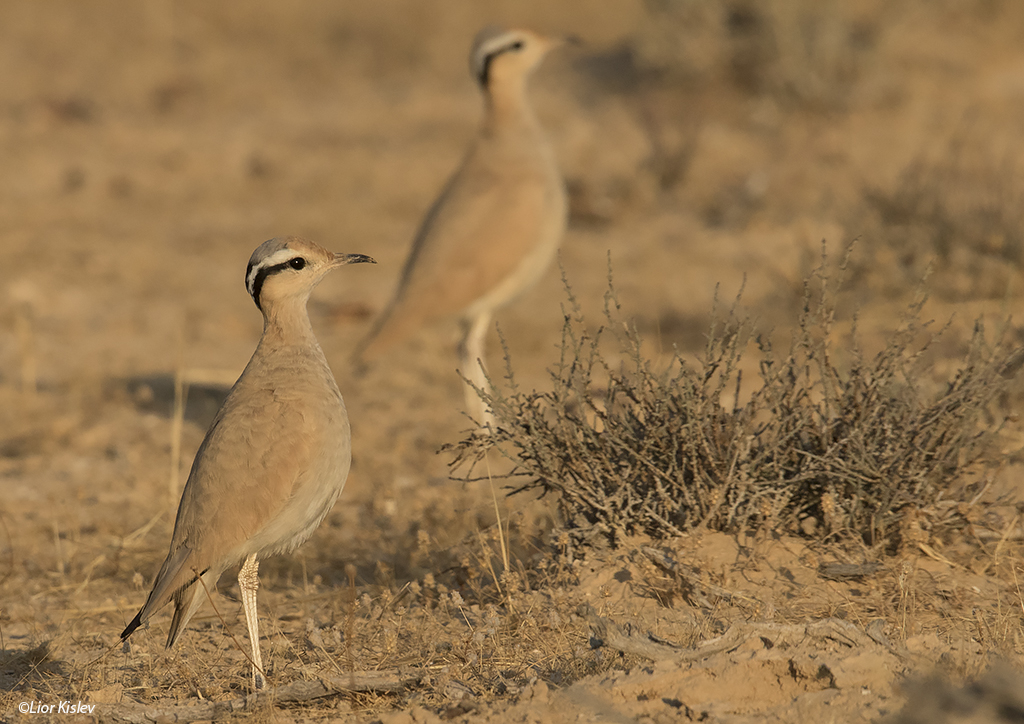 Cream-coloured Courser Cursorius cursor   ,Nitzana ,June 2015. Lior Kislev