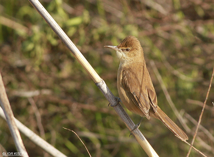 Clamorous Reed Warbler  Acrocephalus stentoreus,  the Btecha,January 2013, Lior KIslev