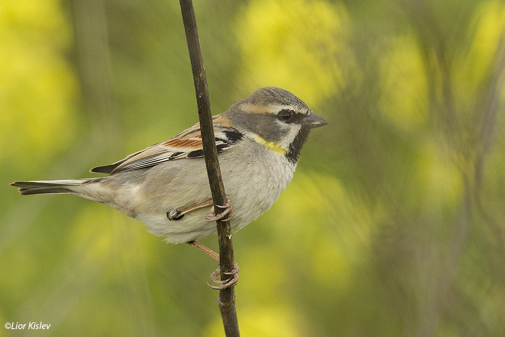Dead Sea Sparrow Passer moabiticus. Btecha,north Israel ,March 2015.Lior Kislev