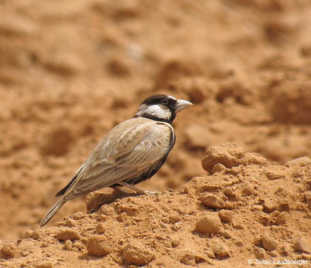 צחיחן שחור כיפה Black-crowned Sparrow -lark                                Eremopterix nigriceps        אילת,אפריל 2006