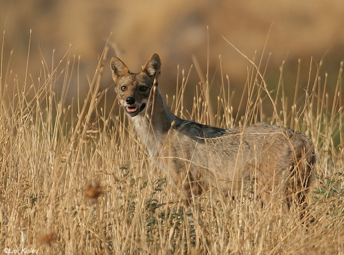 תן זהוב Golden Jackal  Canis aureus syriacus                          נחל סמק,רמת הגולן,יולי 2009.צלם:ליאור כסלו