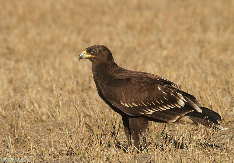 Greater Spotted Eagle   Aquila clanga ,Hula valley,Israel, November  2011 Lior Kislev