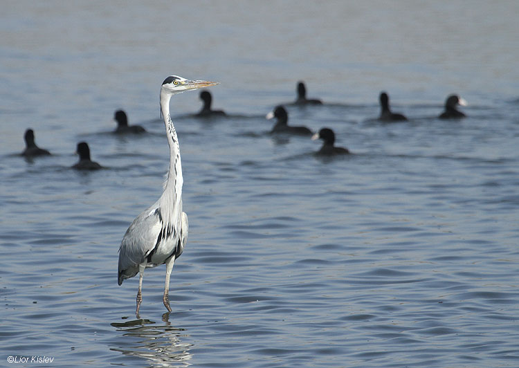 Grey heron  Ardea Cinerea ,Beit Shean valley,27-11-10 Lior Kislev