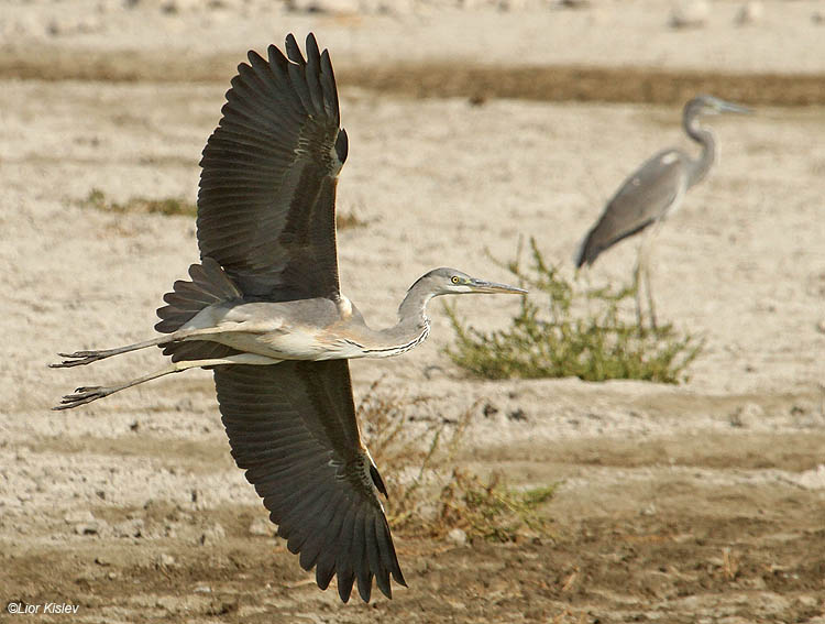 Grey heron  Ardea Cinerea ,Beit Shean valley,06-11-10 Lior Kislev