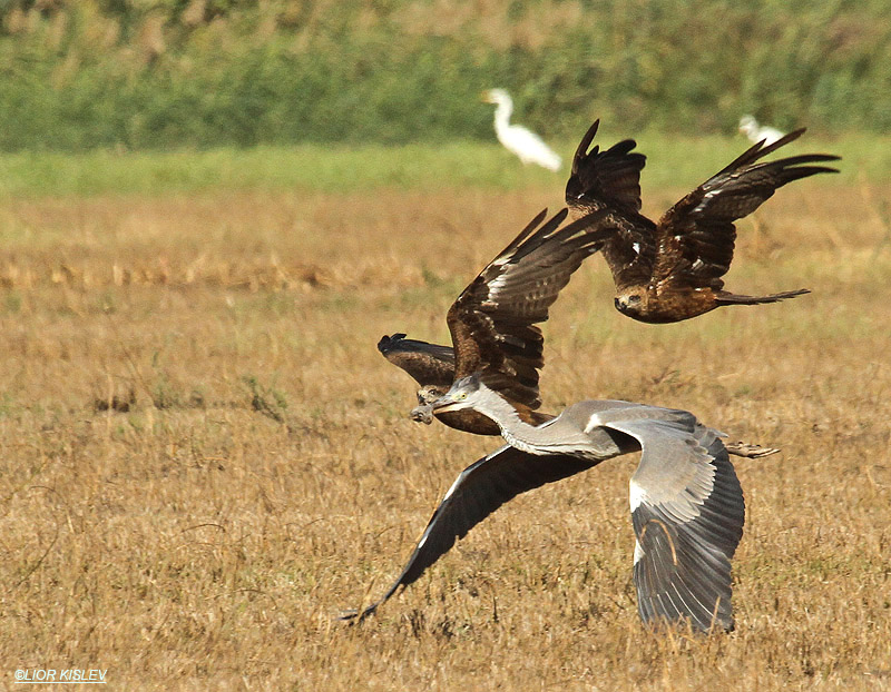 Black Kite Milvus migrans ( trying to take a Social Vole from a Grey Heron beak ),Hula valley 07-11-11, Lior Kislev.