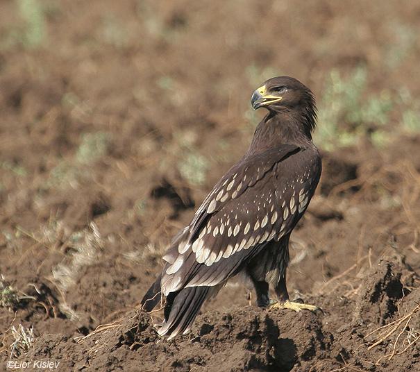 עיט צפרדעים  Greater Spotted Eagle   Aquila clanga        עמק החולה,נובמבר 2008,צלם:ליאור כסלו