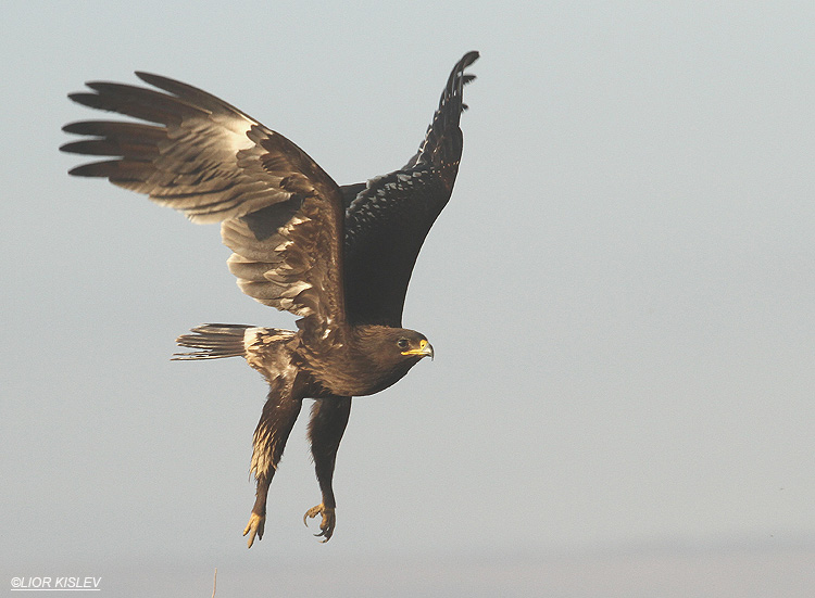 Greater Spotted Eagle   Aquila clanga Beit Shean valley,Israel, November  2010 Lior Kislev