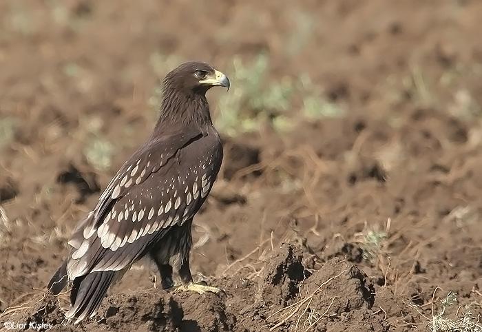 עיט צפרדעים   Greater Spotted Eagle   Aquila clanga  Fulvescens  עמק החולה ,נובמבר 2008,צלם:ליאור כסלו