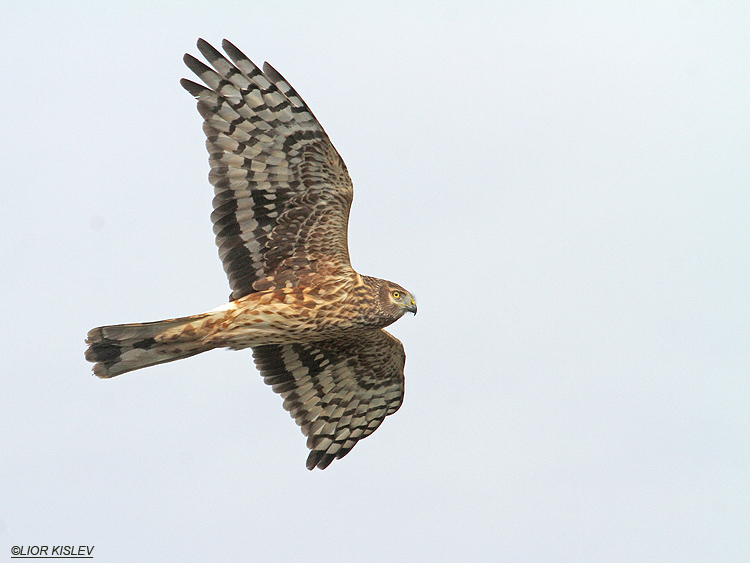 Hen Harrier Circus cyaneus   ,wadi Samak,Golan heights , .November 2012 . Lior Kislev