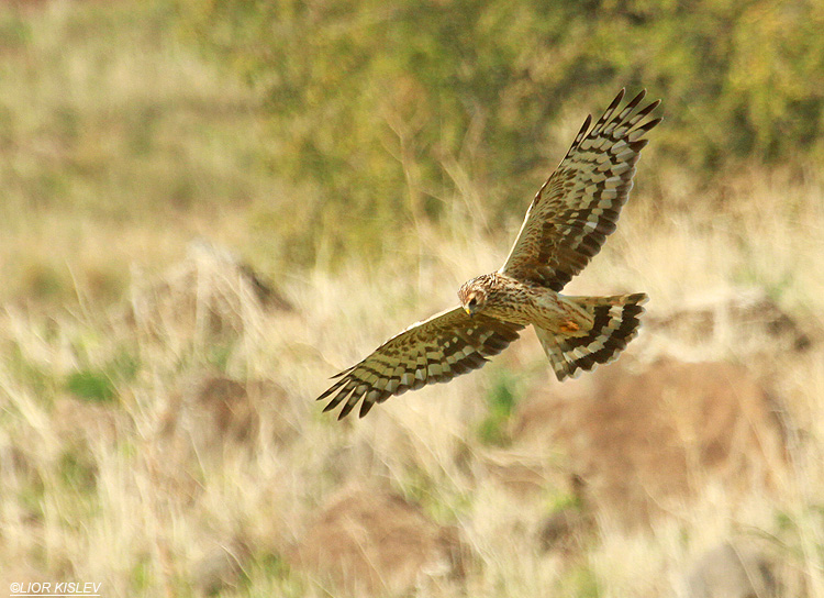 Hen Harrier Circus cyaneus ,wadi Samak,Golan heights , .December 2012. Lior Kislev