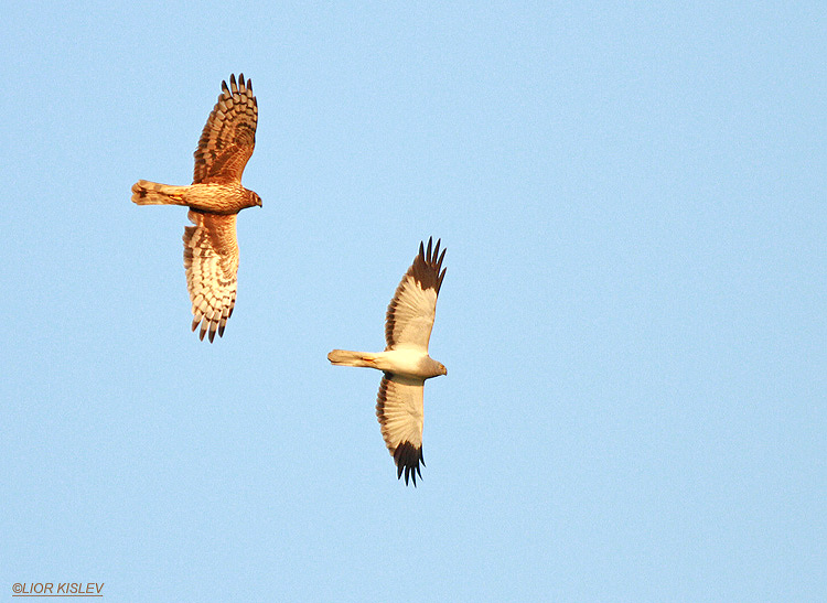 Hen Harrier Circus cyaneus ,male and feamle ,wadi Samak,Golan heights , .January  2013. Lior Kislev