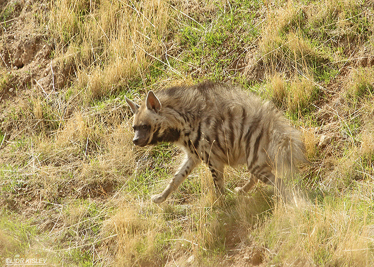 Striped Hyena  Hyaena  hyaena   Golan heights 05-12-12 Lior kislev