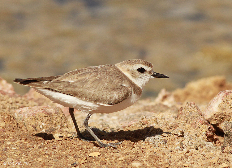 Kentish Plover Charadrius alexandrinus  . km 20 salt ponds Eilat,April 2013 Lior Kislev