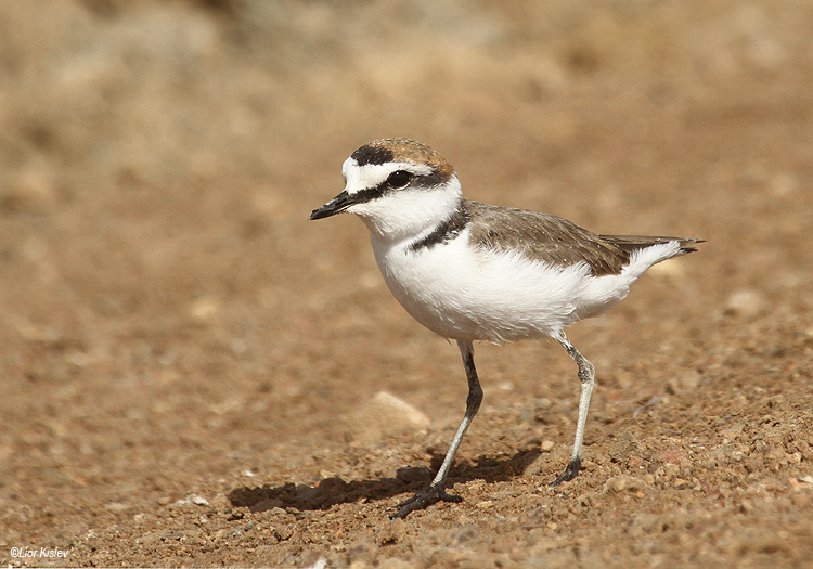 Kentish Plover Charadrius alexandrinus  . km 20 salt ponds Eilat,April 2012 Lior Kislev