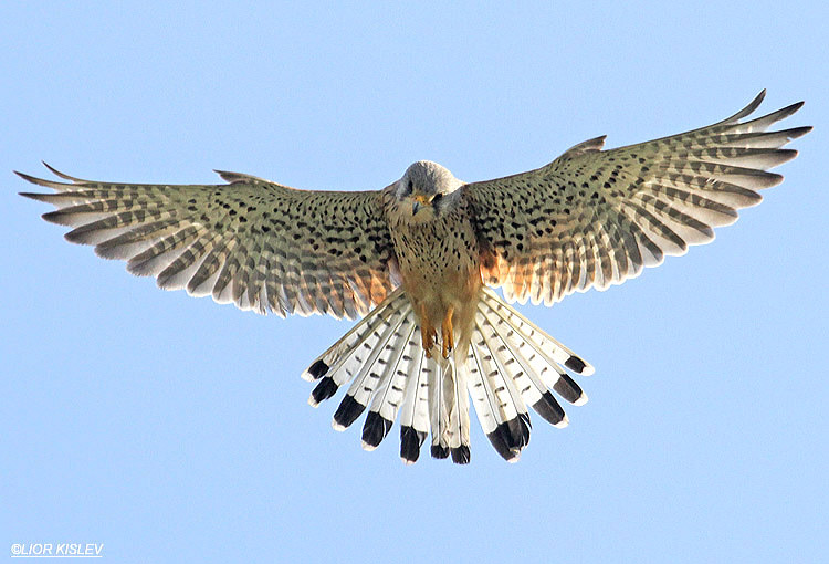 Common Kestrel Falco Tinnunculus  ,Maagan Michael  05-03-12  Lior Kislev