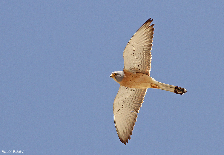 Lesser Kestrel Falco naumanni  Goral junction area,April 2014.Lior Kislev