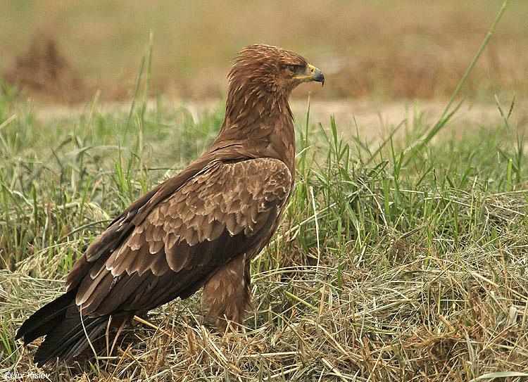 Lesser Spotted Eagle Aquila pomarina  ,Hula valley,October 2010,Lior Kislev