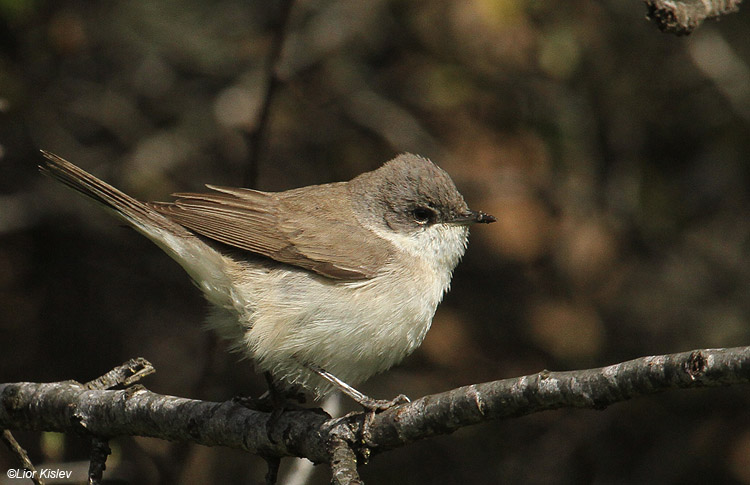 Lesser Whitethroat  Sylvia curruca,Bacha valley, April 2011,Lior Kislev