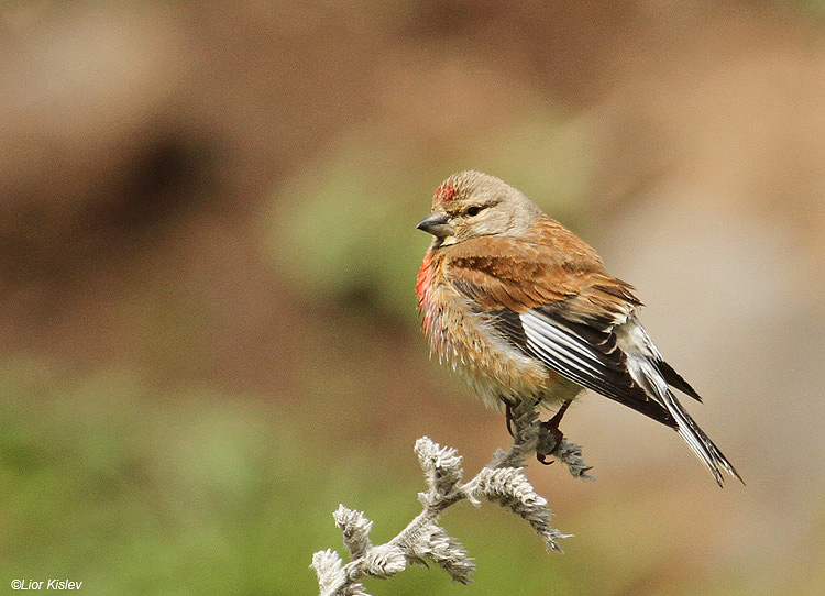 Common Linnet Carduelis cannabina ,Valley of Tears(Bacha valley)April 2011 Lior Kislev