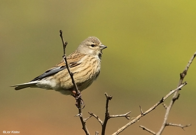 birds of israel passeriformes common linnet. Black Bedroom Furniture Sets. Home Design Ideas
