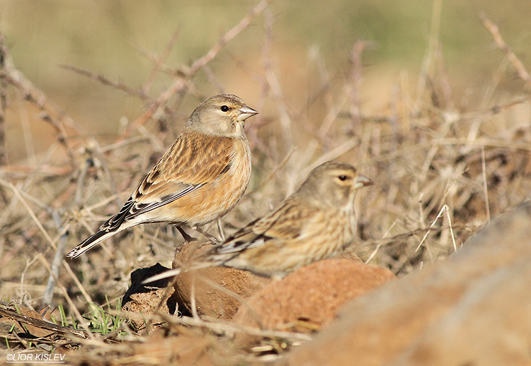 .Common Linnet Carduelis cannabina ,Valley of Tears(Bacha valley)January 2014,Lior Kislev