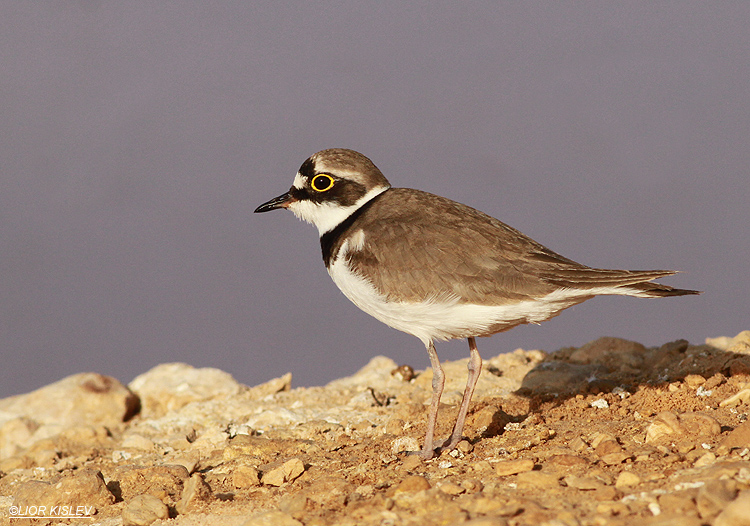 Little Ringed Plover  Charadrius dubius   salt ponds ,Kibbutz Samar sewege pond ,April 2013. Lior Kislev