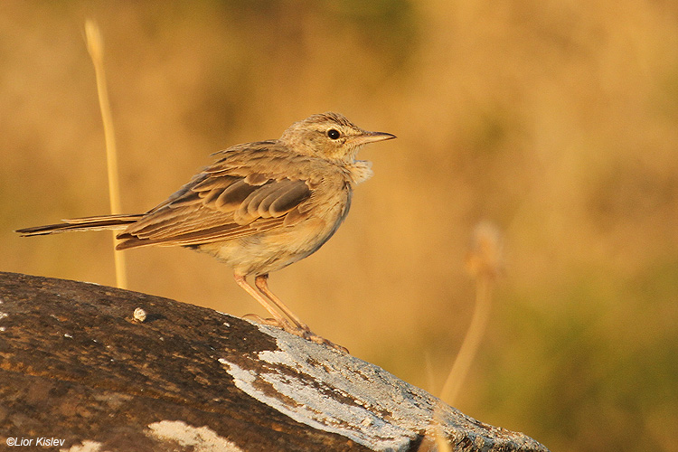 Long-billed Pipit  Anthus similis ,wadi Samak ,Golan, 16-07-11