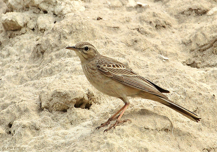 Long-billed Pipit  Anthus similis ,Susita,Golan, 07-03-11